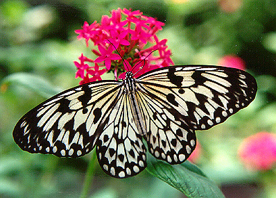 Image Result For Wood Nymph Butterfly